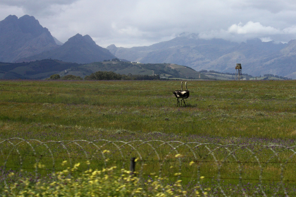 Ostriches roaming fields outside of Cape Town, South Africa.