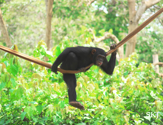 Nepa the chimpanzee at UWEC, Uganda.