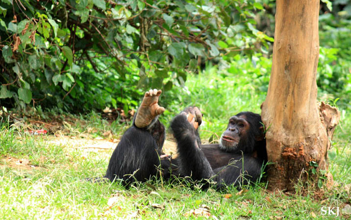 Onapa the chimpanzee at UWEC, Uganda.