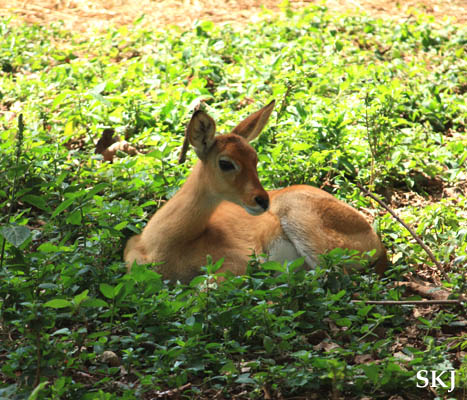 Female oribi at the UWEC, Uganda.