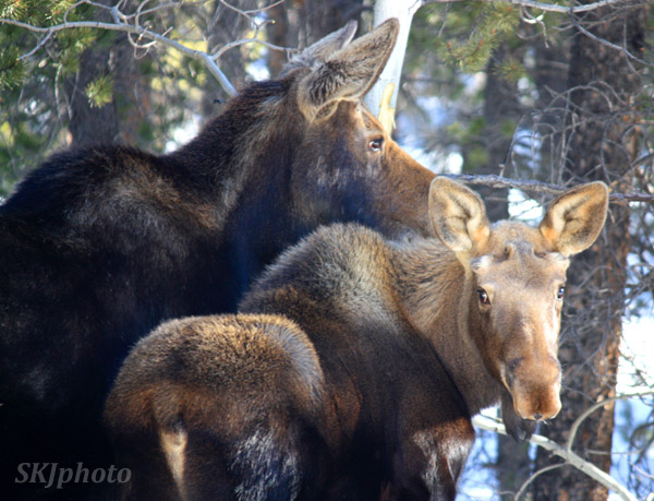 Mother moose with her young son; winter in my yard in Nederland, Colorado.