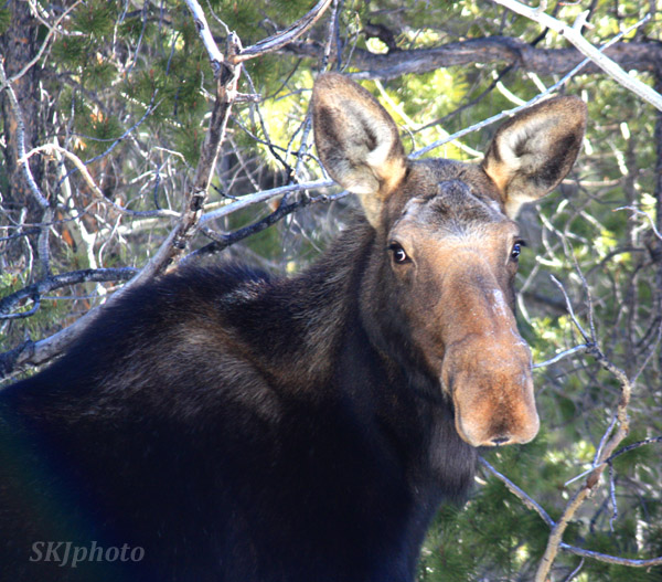 Female moose in my yard, wintertime, Nederland, Colorado.