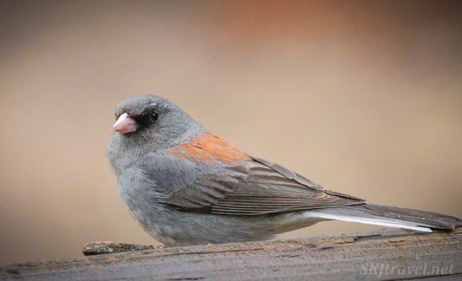 Junco bird on my balcony, Nederland, Colorado.