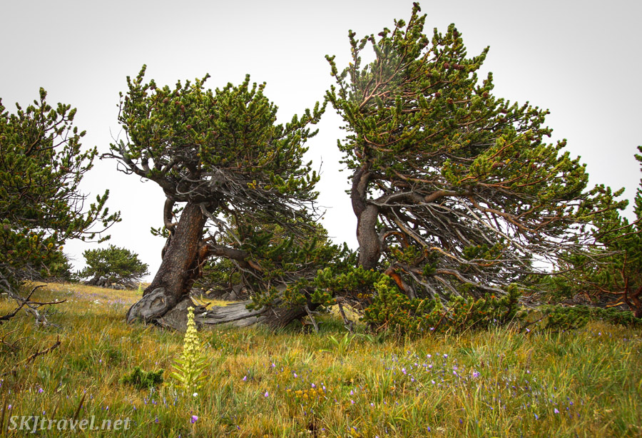 Wind-sculpted trees on the border of treeline on Kingston Peak 4x4 route, Colorado