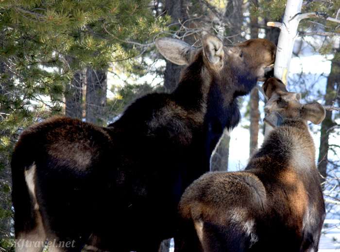Mother moose with her young son eating the bark off trees; winter in my yard in Nederland, Colorado.