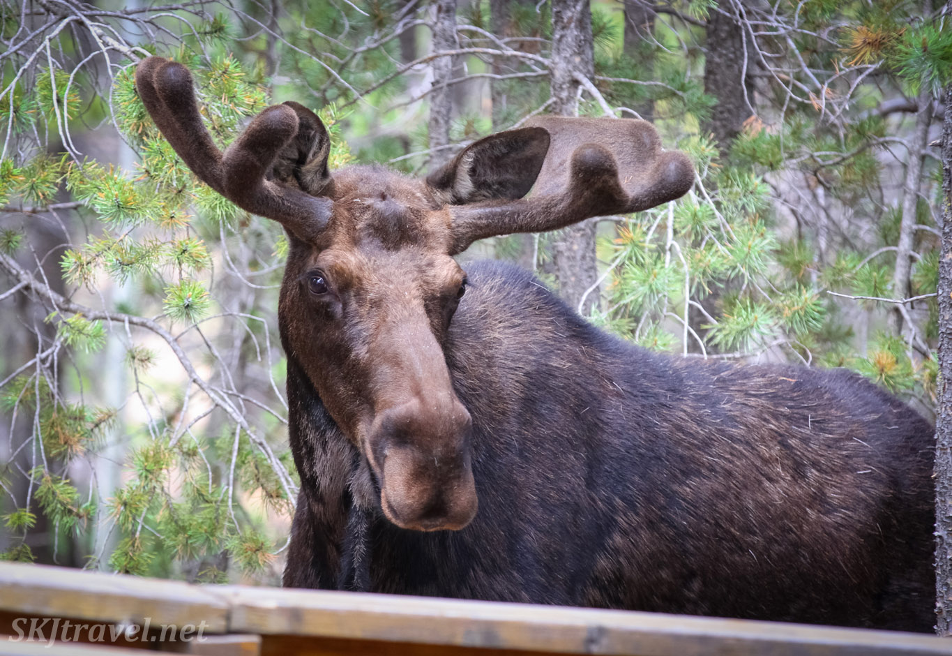 Young male moose in my backyard, Nederland, Colorado.