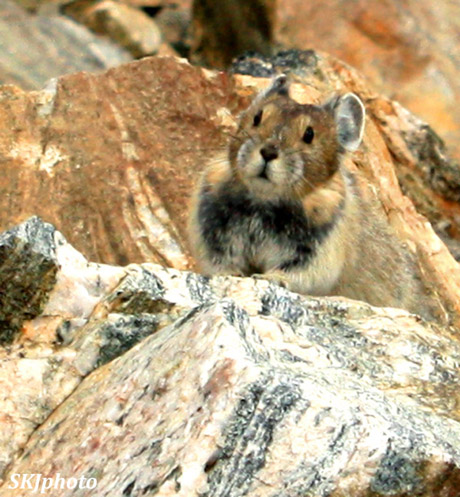 American pika sitting on granite rocks, Indian Peaks Wilderness, Colorado.