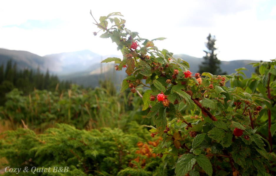 Yummy raspberries in Mammoth Gulch, Colorado.
