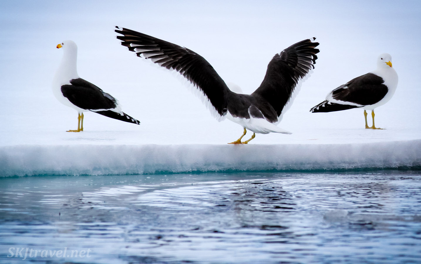 Three kelp gull birds on an ice shelf in Antarctica. One looking left, one looking right, and one taking off for flight.