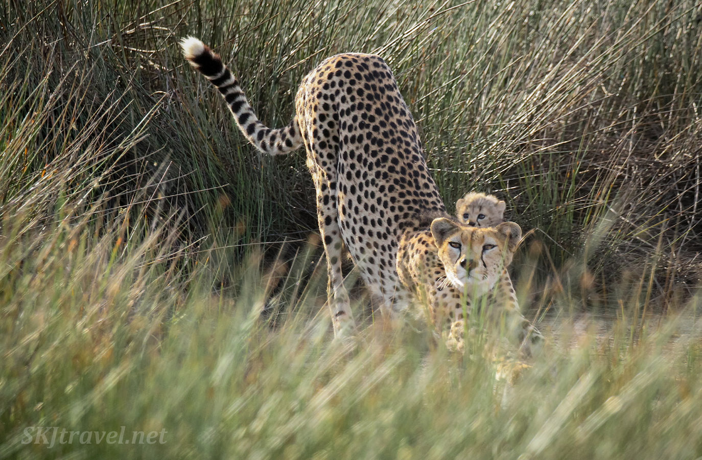 Mother cheetah stretching with baby cheetah peeking over the top of her heads. Among tall reeds in Ndutu, Tanzania.