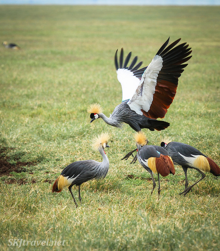 Grey crowned cranes in Ngorongoro Crater, Tanzania. Group of 4, one about to take off in flight.