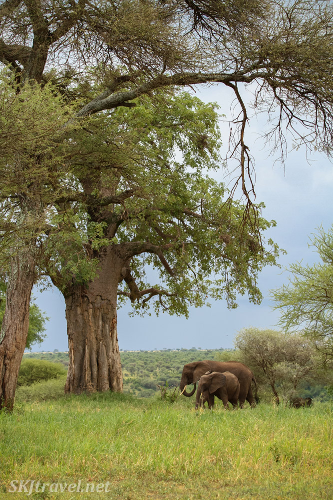 Elephants grazing beneath large baobab trees in Tarangire, Tanzania.