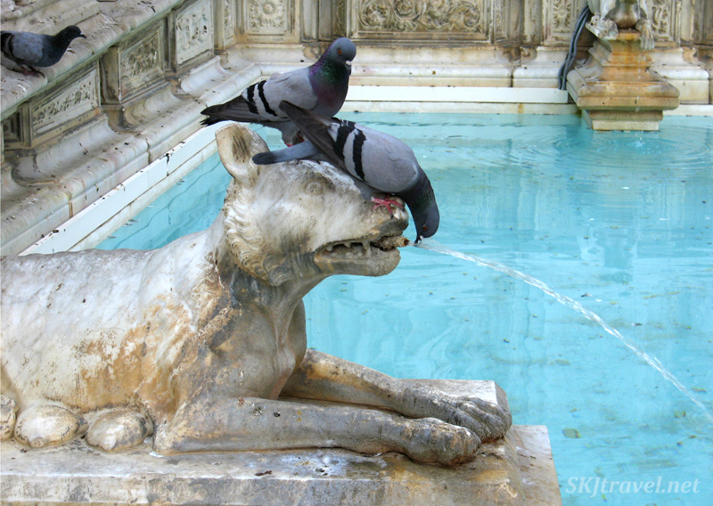 Pigeons drinking from a fountain in Sienna, Italy.