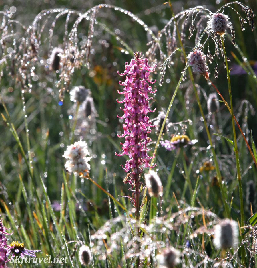 Elephant heads and bistort and grasses coated with rain and sparkling in the sun. High altitude flowers of Colorado.