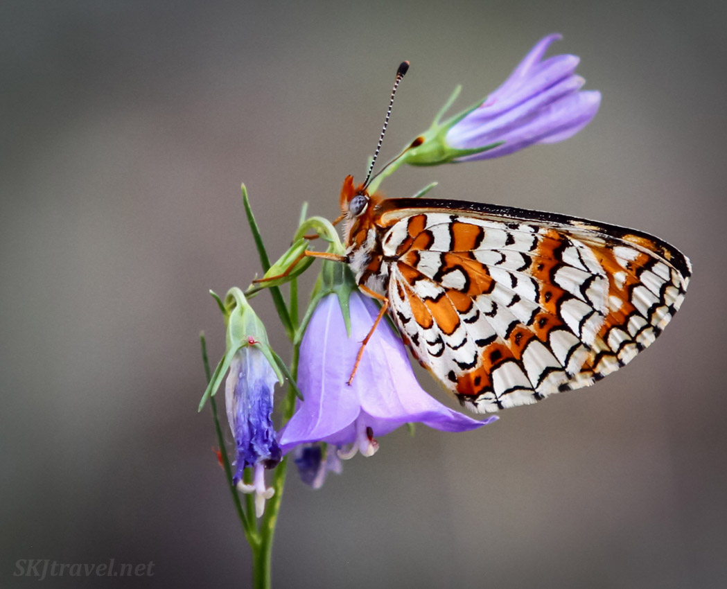 Arachne checkerspot butterfly sleeping on a harebell. Nederland, Colorado.