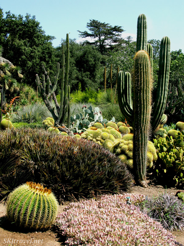 Different types of cactus plants and succulents densely arranged in the Huntington Botanical Garden desert garden exhibit, Los Angeles, California. Photo by Shara Johnson