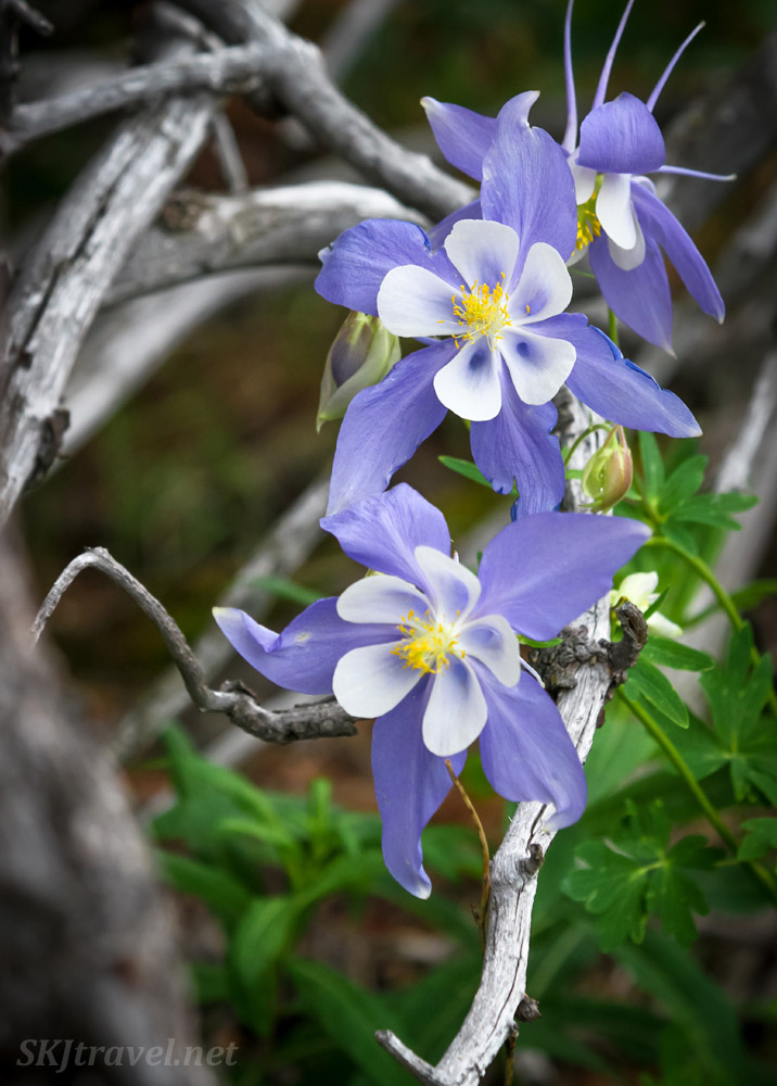 Blue columbine flowers in shady forest above Caribou townsite, Nederland, Colorado.