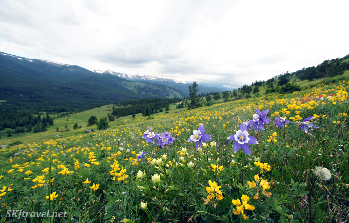 Yellow pea and blue columbine cover the hillsides in Mammoth Gulch, Colorado.