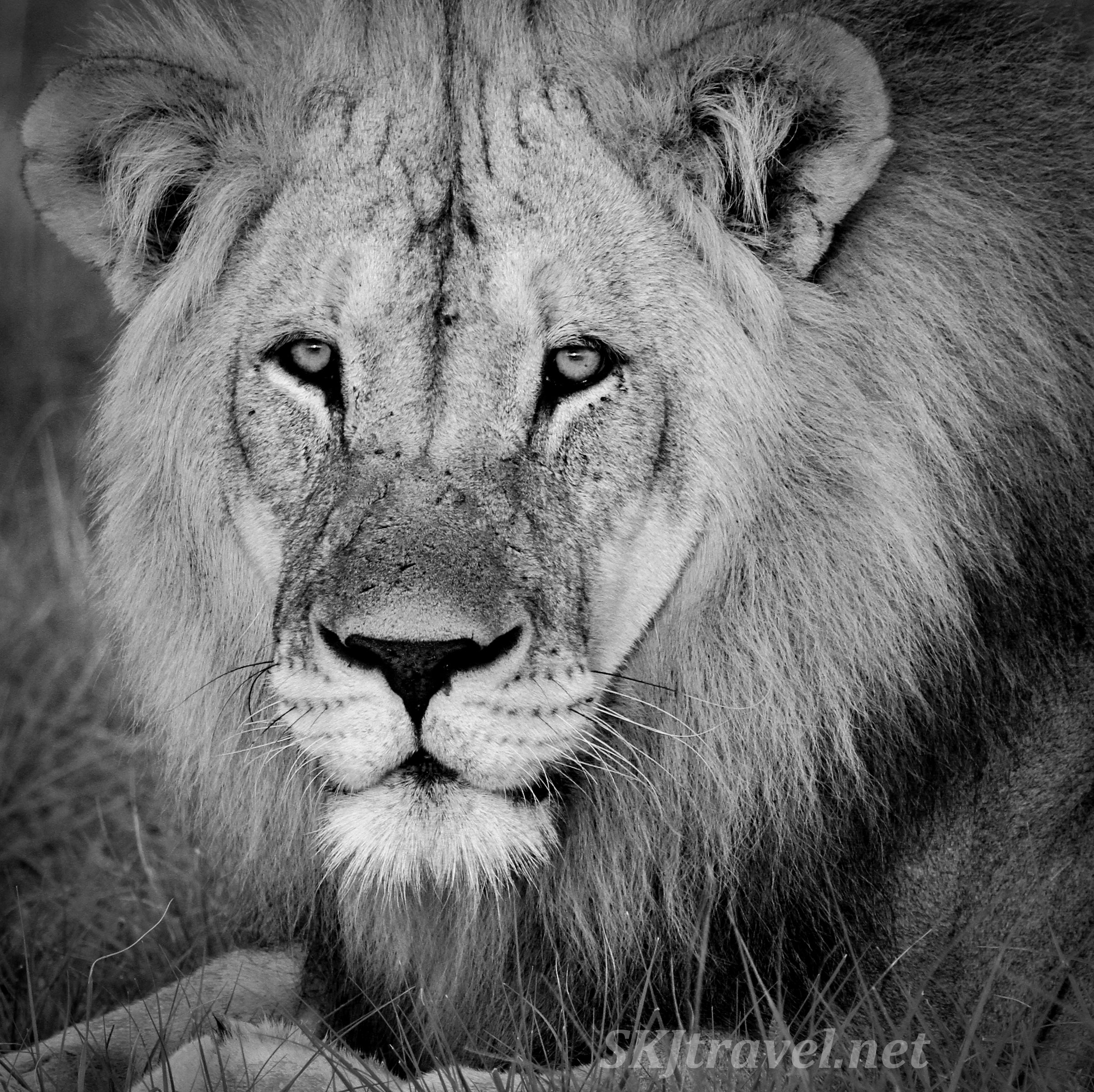 Adult male lion lying in the grass, black and white photography. Etosha National Park, Namibia.