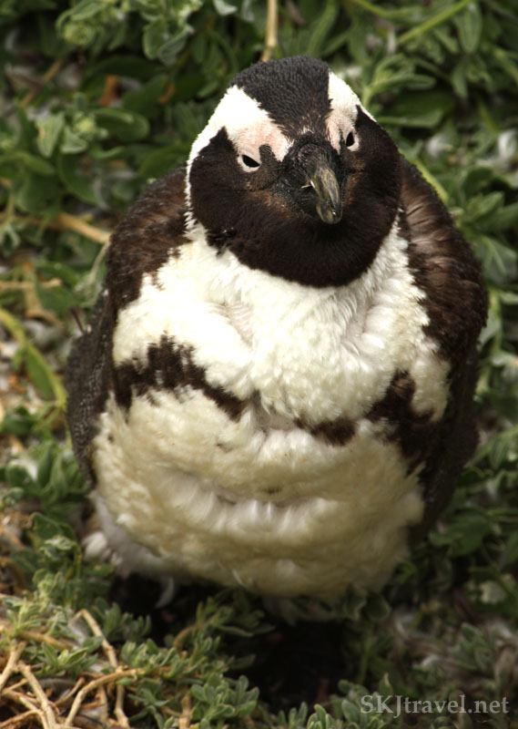 Molting penguin.