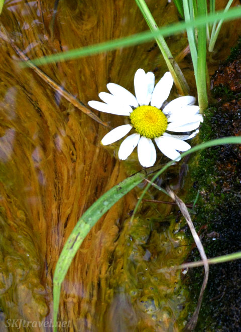 Daisy in contaminated mining water. Gamble Gulch Road, Rollinsville, Colorado.