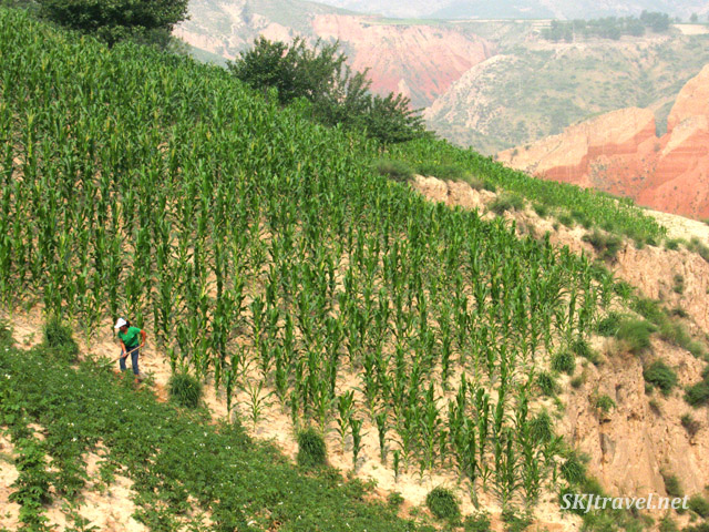 Woman peasant hoeing her crops on a steep hillside in Dang Jia Shan village, Shaanxi Province, China.