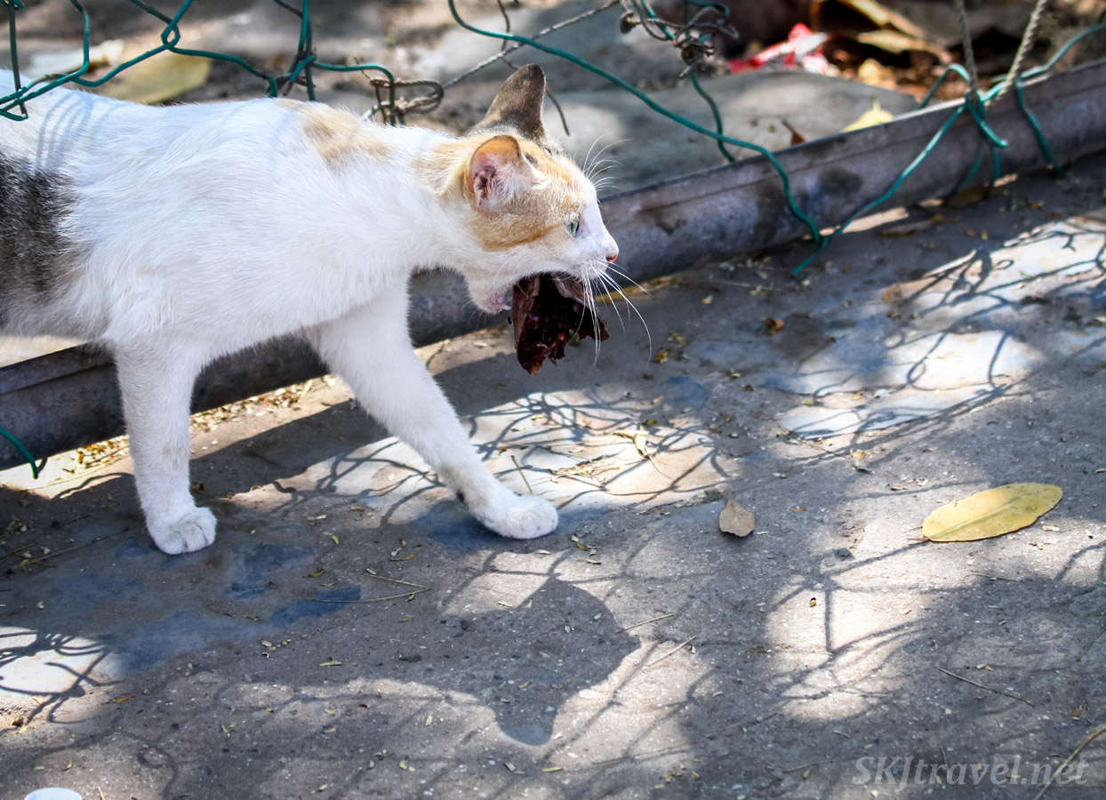 Stray cat finds a fish head for lunch, Popoyote Lagoon crocodile refuge, Playa Linda, Ixtapa, Mexico.