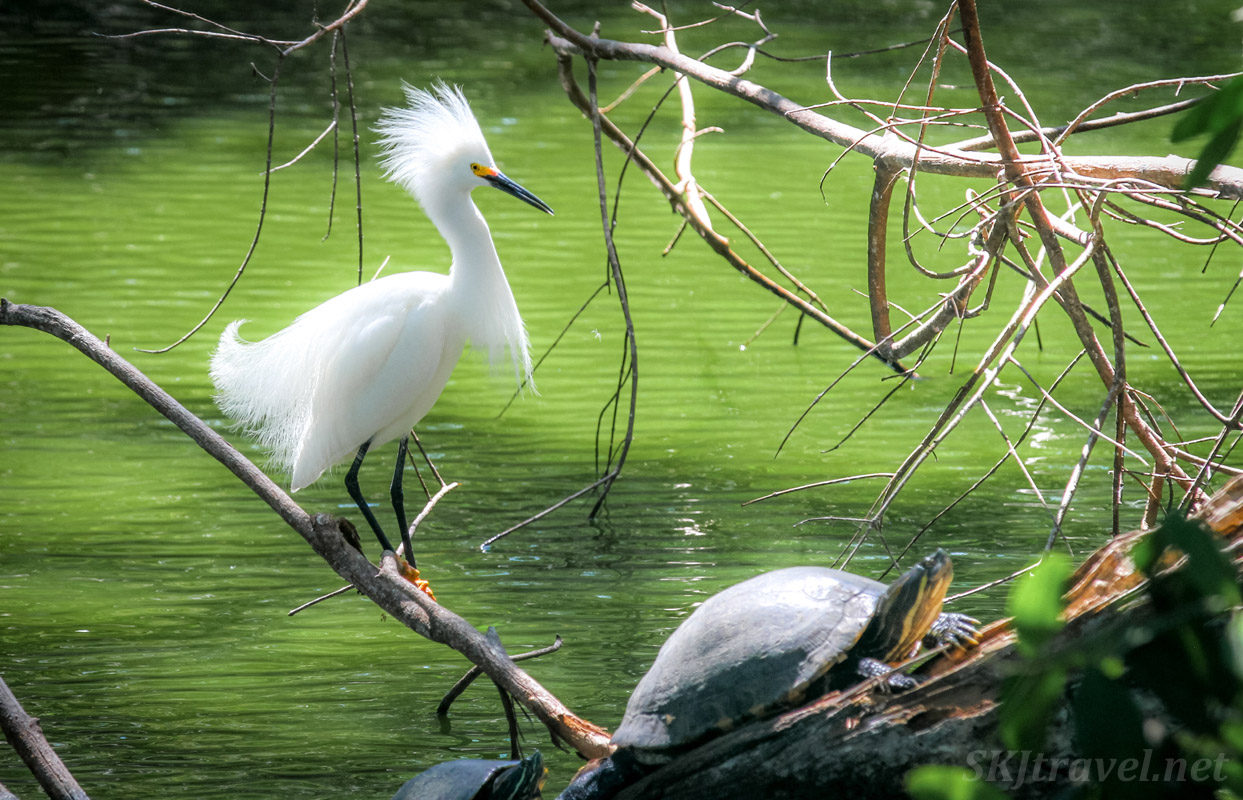 Egret and turtle sitting together on a log in Popoyote Lagoon crocodile refuge, Playa Linda, Ixtapa, Mexico.