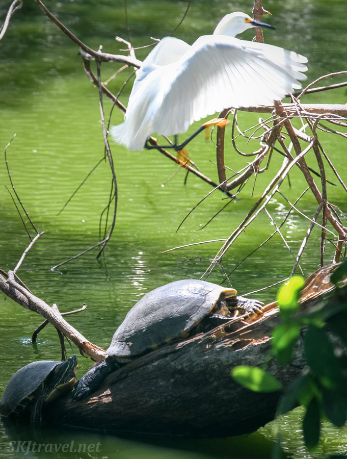 Egret flying over a turtle recessed into its shell, Popoyote Lagoon crocodile refuge, Playa Linda, Ixtapa, Mexico.