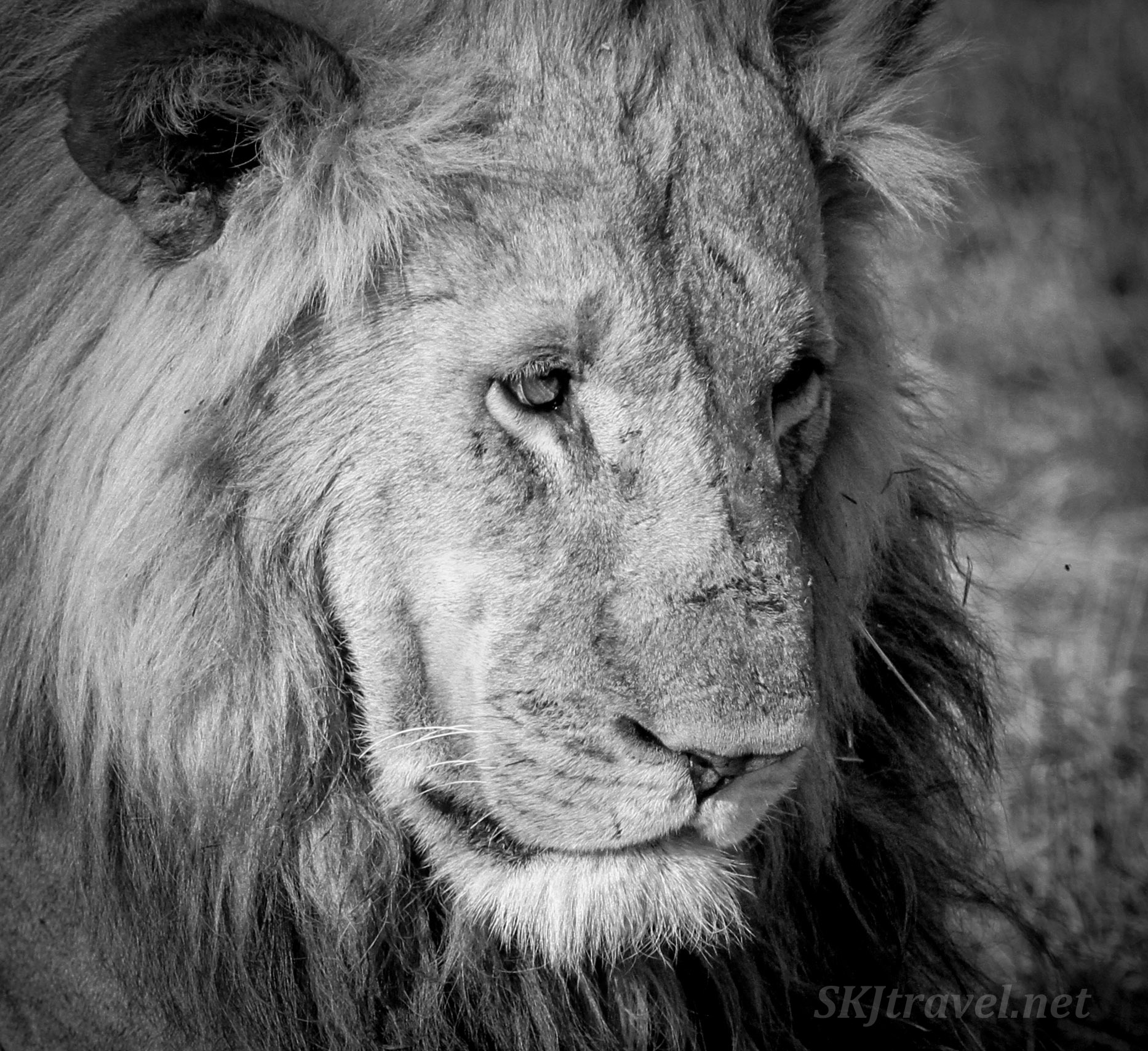 Sad looking adult male lion, black and white photography. Okavango Delta, Botswana.