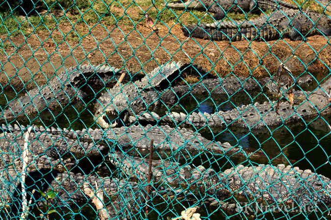 Many crocodiles packed densely together against a chainlink fence. Photo by Shara Johnson