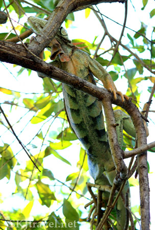 A small iguana in the tree tops. Photo by Shara Johnson