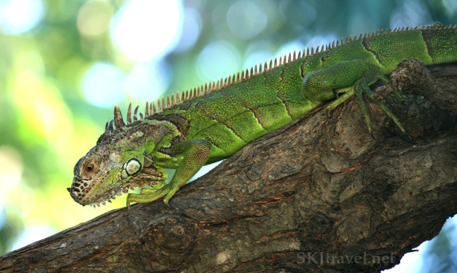 Small green iguana walking down a fallen tree branch.