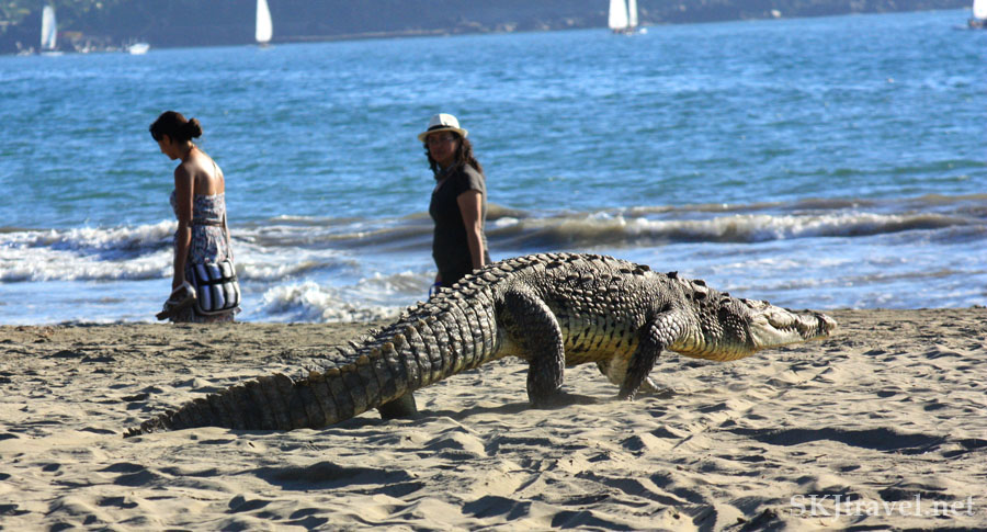 Crocodile walking down the tourist beach at Playa Linda, Ixtapa, Mexico. Photo by Shara Johnson