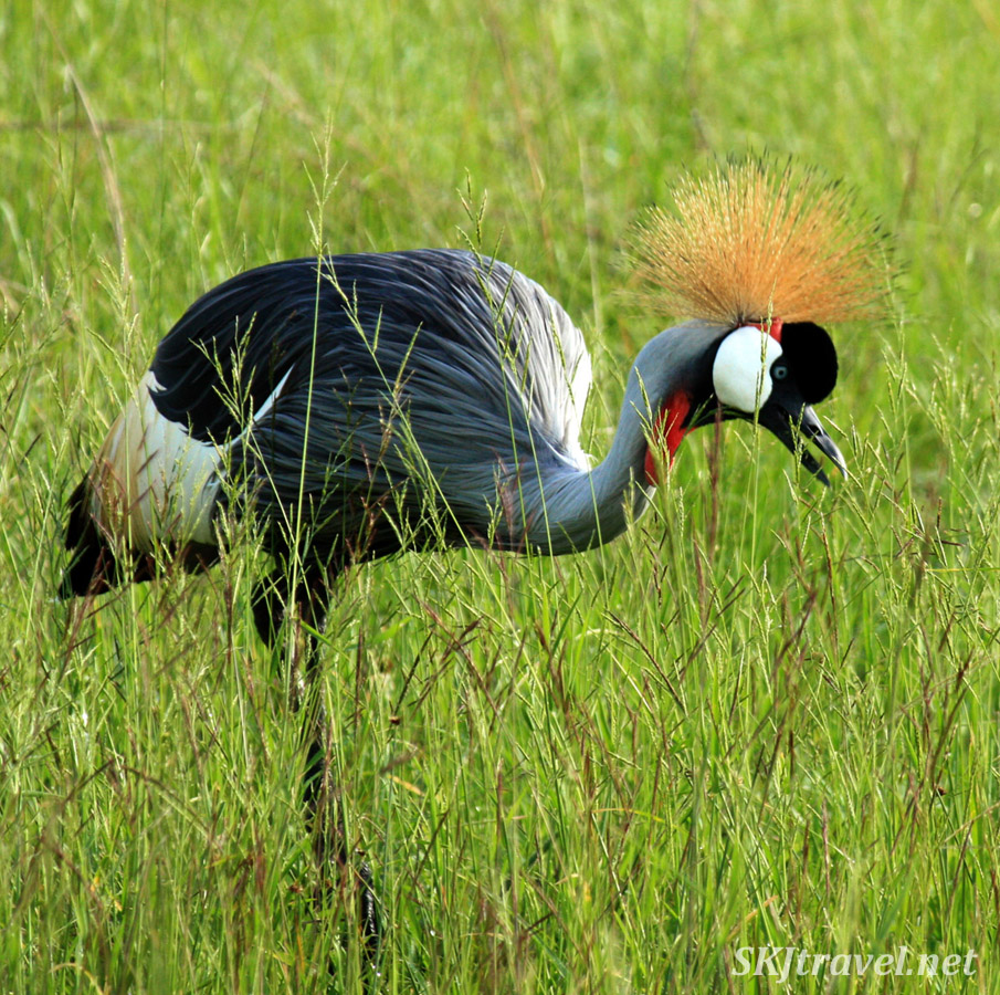 Gray crowned crane eating tall grasees in Queen Elizabeth National Park, Uganda.