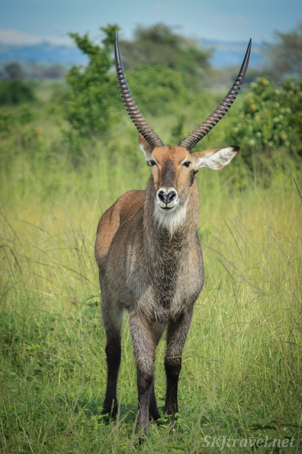 Male water buck standing in tall grass in Queen Elizabeth National Park, Uganda.