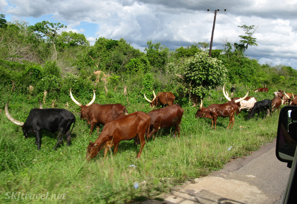 Cows dot the land along the roads in rural Uganda. They have big horns!