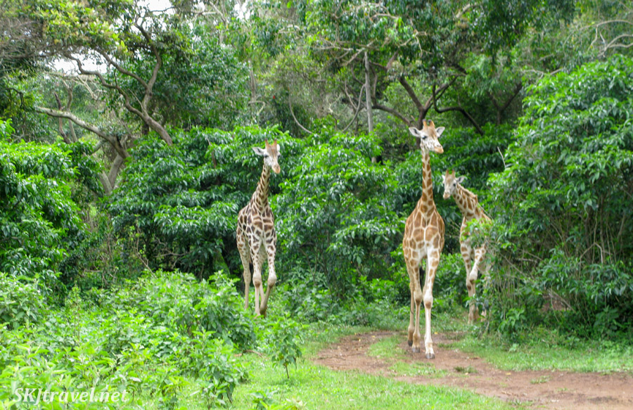 Giraffes emerging from the forest in their habitat at the UWEC for feeding.