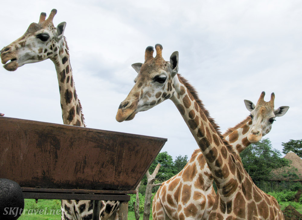 Giraffes approaching their feeding trough at the UWEC.