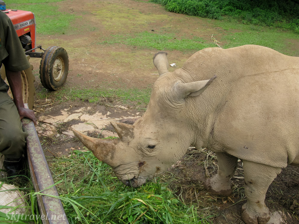 Feeding time for the white rhino at the UWEC.