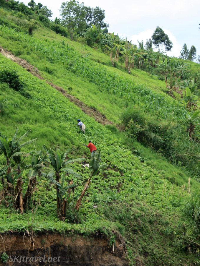 Women working agricultural fields on steep mountainside of lower Rwenzori range in Uganda.