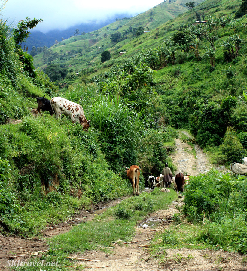 Man walking his cows home along a path in the lower Rwenzori mountains, Uganda.