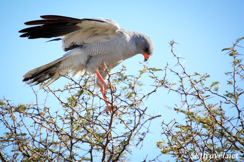 Dark chanting goshawk landing in tree branches, Etosha National Park, Namibia.