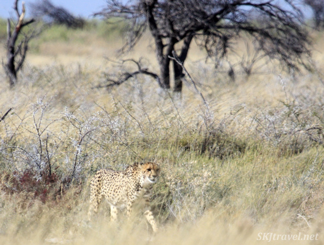 Cheetah in the tall grass of Etosha National Park, Namibia.