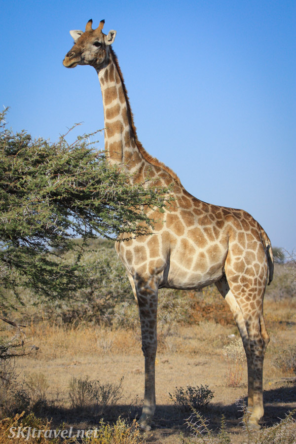 Giraffe standing tall in perfect pose. Etosha national park, Namibia.