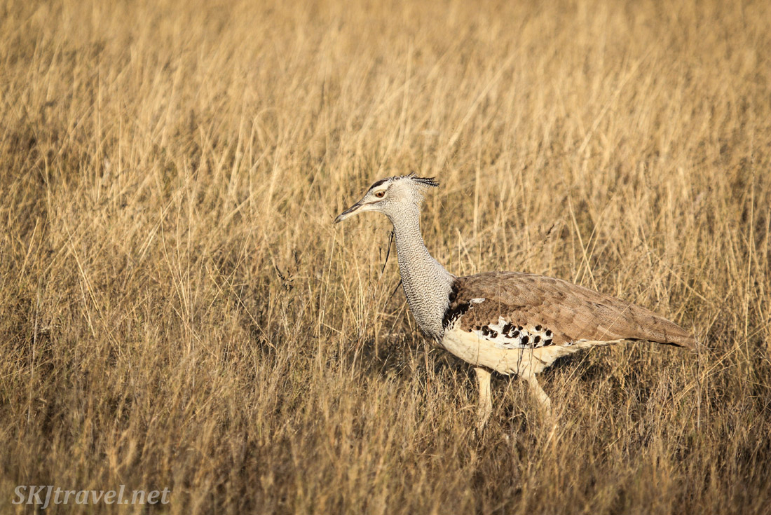 Kori bustard striding through the tall grass on the plains of Etosha national park, Namibia.