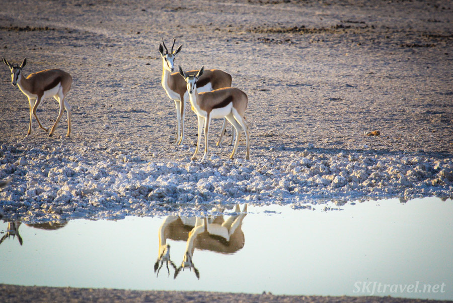 Pair of springboks strolling the shore of a water hole. Etosha national park, Namibia.