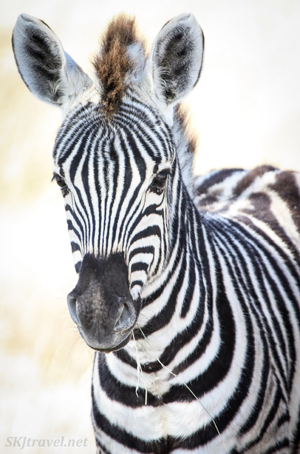 Close up of zebra. Etosha national park, Namibia.