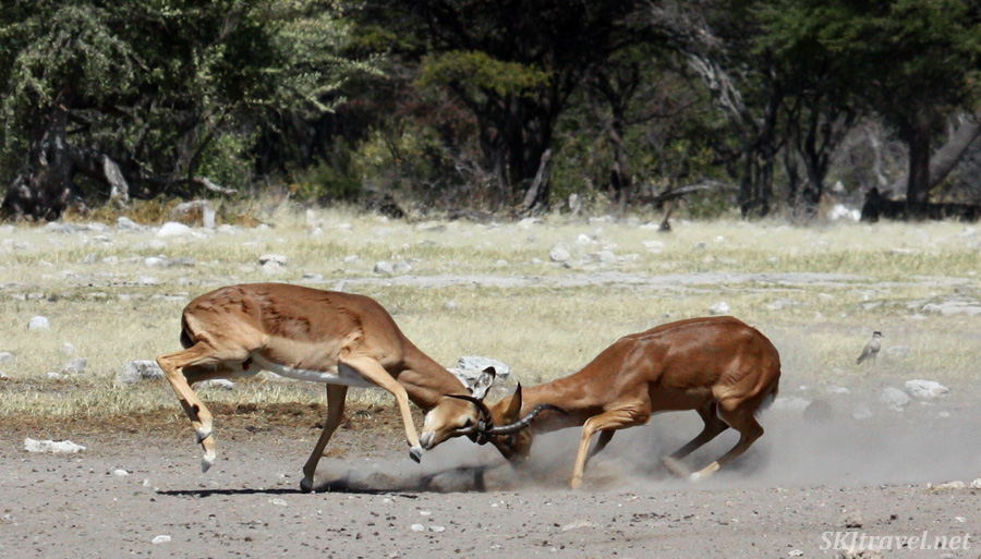 Two male impala ramming into each other with their heads, horns locked. Etosha NP, Namibia.