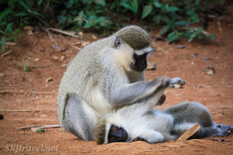 Vervet monkey in a trance while being groomed by another. Uganda.